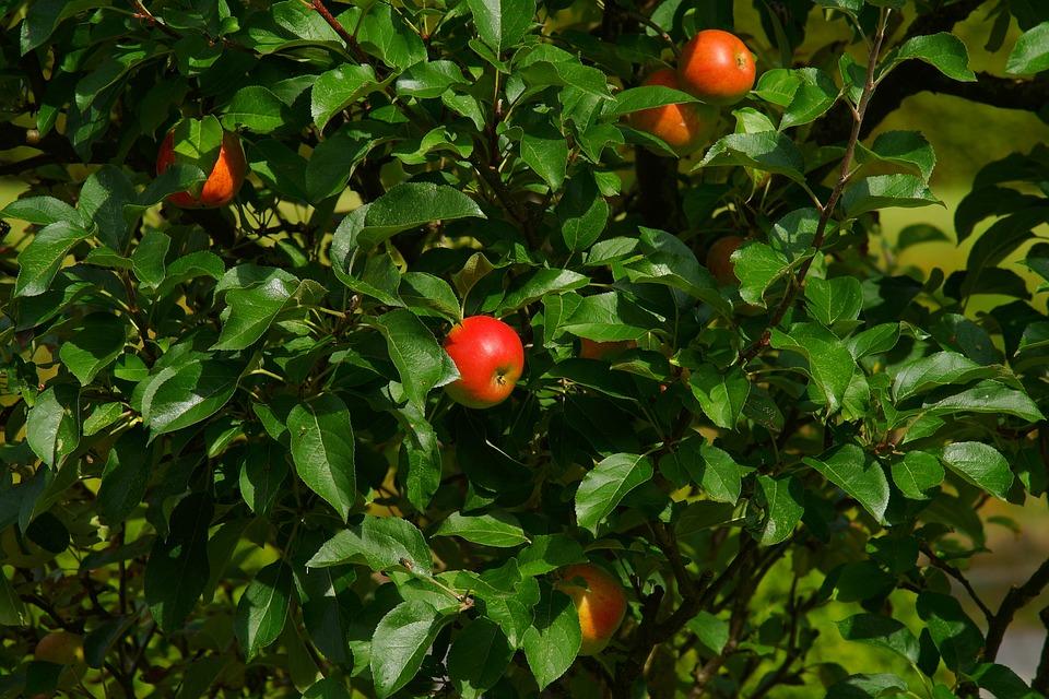 Apple, Apple Tree, Tree, Nature, Fruit, Autumn, Close