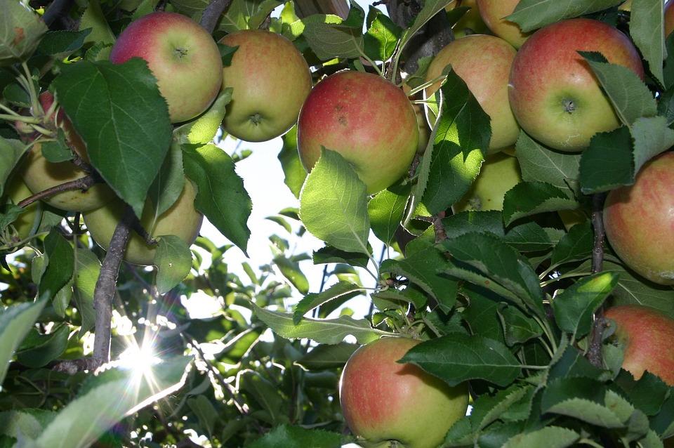 Apple, Picking, Orchard, Apple Tree, Autumn, Harvest