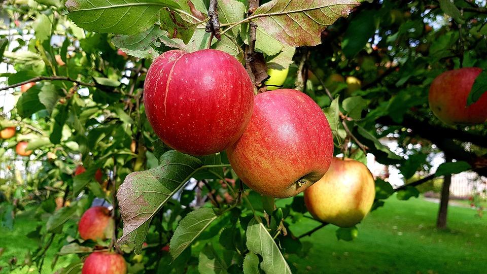 Apple, Ripe, Red, Yellow, Apple Tree, Autumn