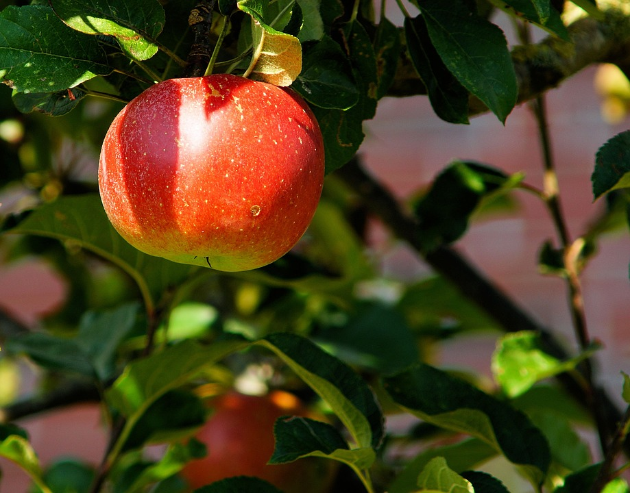 Apple Tree, Branch, Apple, Fruit, Sweet, Red, Herrlich