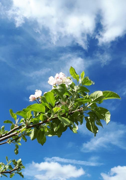 Blossom, Bloom, Apple Tree, Spring
