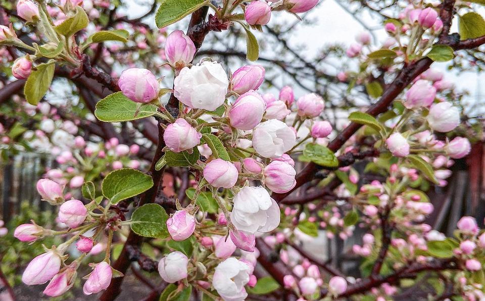 Flowers, Tree, Pink, Nature, Leaves, Spring, Apple Tree