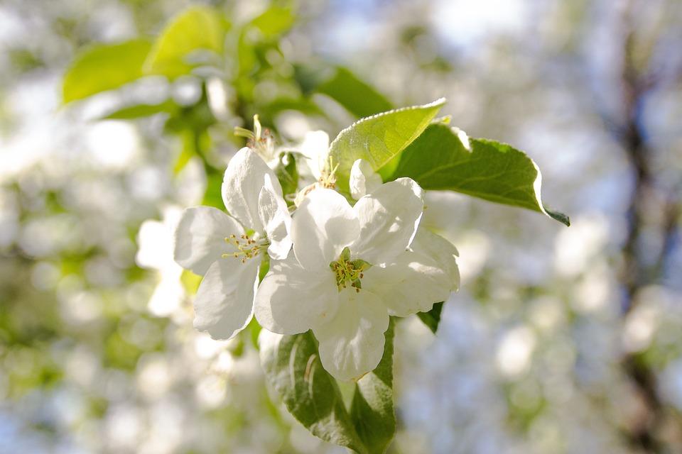 Flowers, Apple Tree, Kolomna, Spring, Tree, Nature