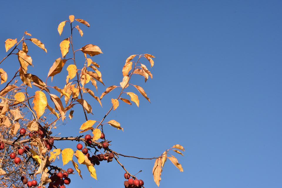 Autumn, Apple Tree, Branch, Leaves, Yellow, Plant