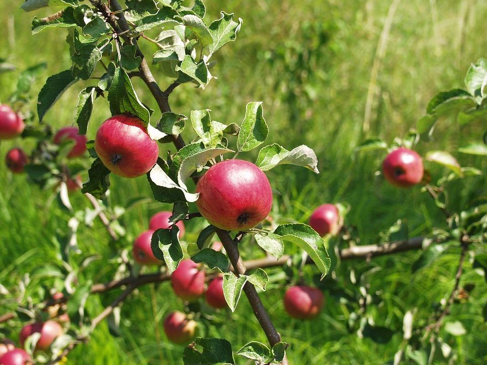 Zieraepfel, Apple, Tree, Fruit, Apple Tree, Nature, Red