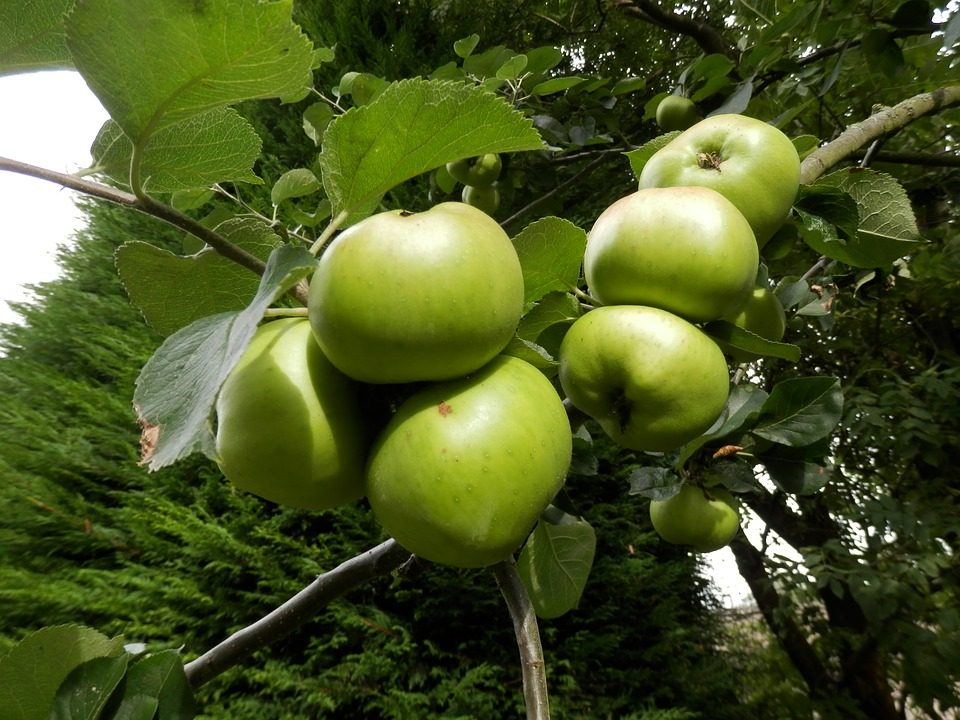 Apples, Tree, Apple Tree, Nature, Green, Fruit, Food
