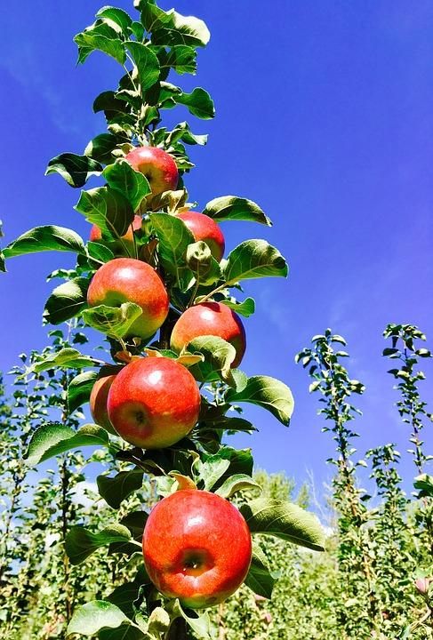 Apples, Fruit, Antioxidants