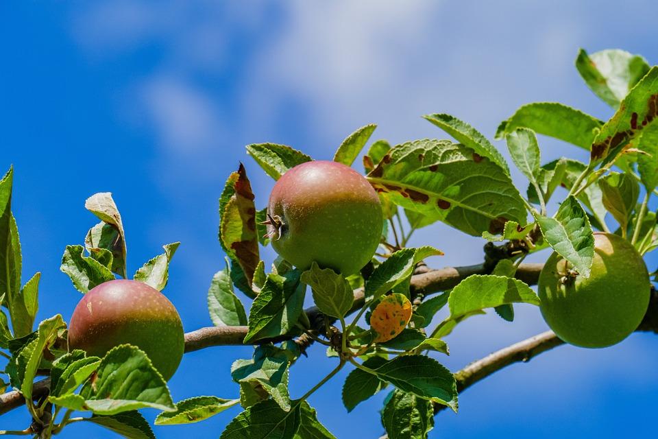 Apples, Fruit, Harvest, Nature, Growth