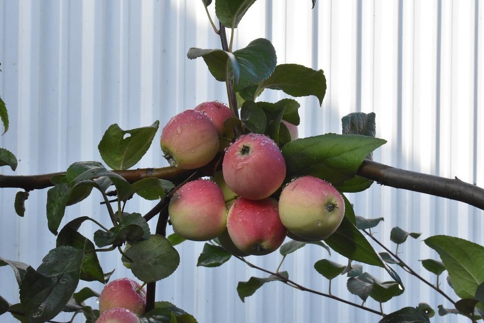 Apples, Ripe, Garden, Siberia, Nutrition, Healthy