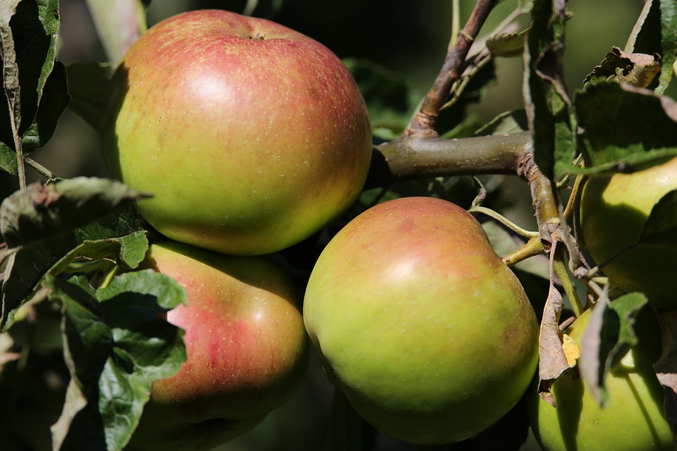 Apples, Tree, Branch, Fruit, Food, Fresh, Juice