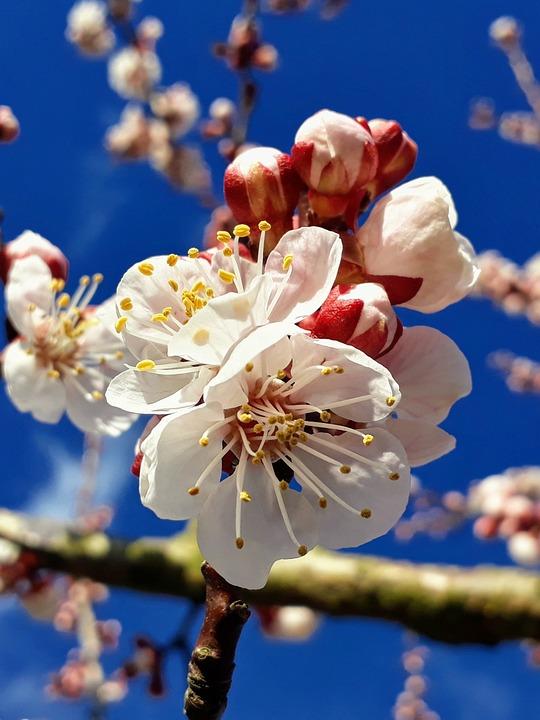 Apricot Blossom, Apricot, Blossom, Bloom, Flower Buds