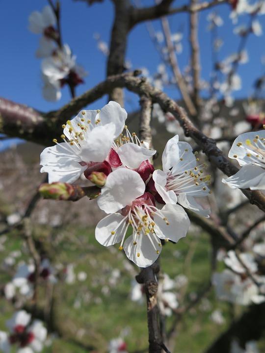 Apricot Blossom, Blossom, Bloom, Flowers, Fruit Tree