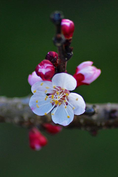 Flowers, Apricot, Tree, Branch
