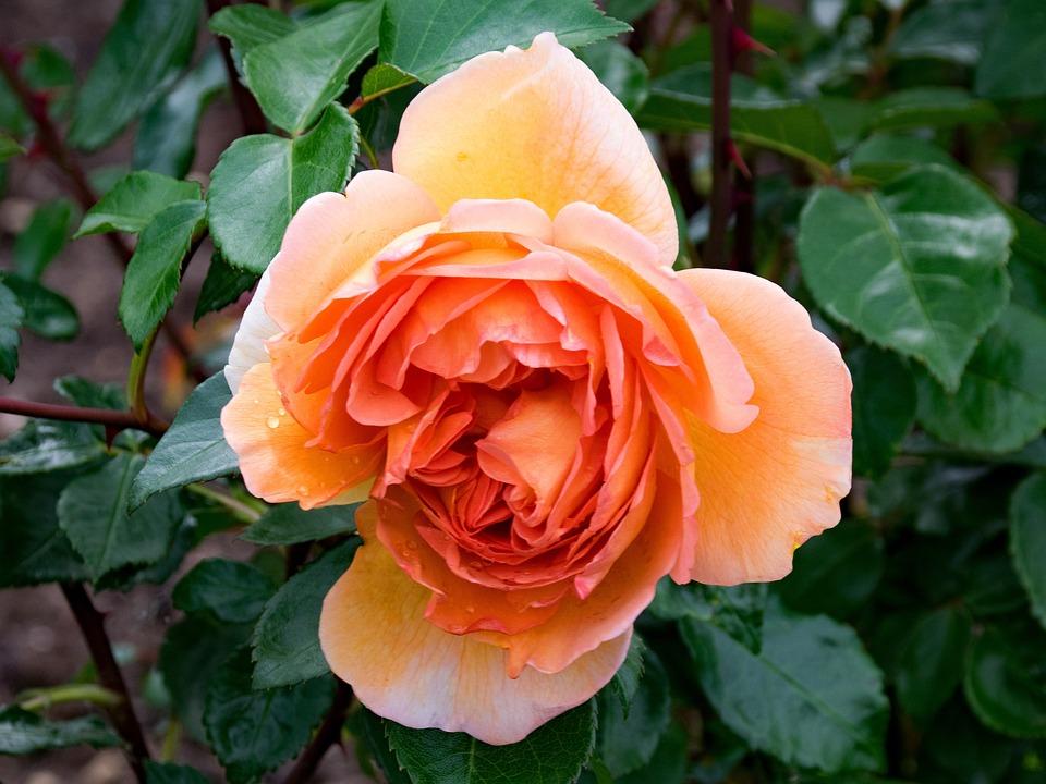 English, Rose, Pat Austin, Flowers, Apricot, Orange