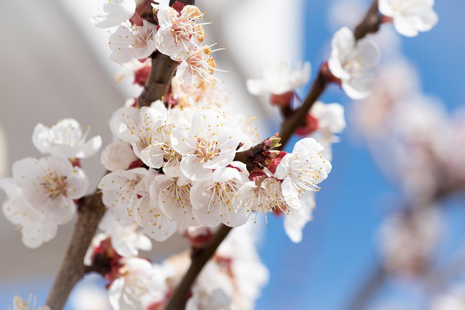 Flowers, White, Branches, Bloom, Spring, Apricot Tree