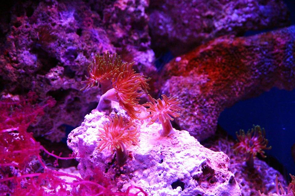 Polyp, Actinium, Anemone, Sea Anemone, Aquarium