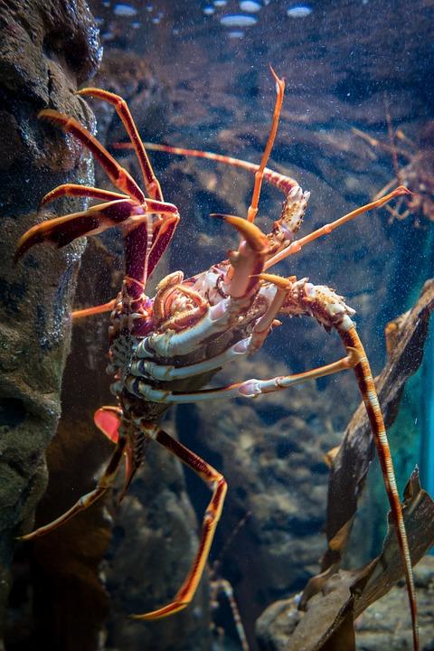 Lobster, Aquarium, Crustacean, Underwater