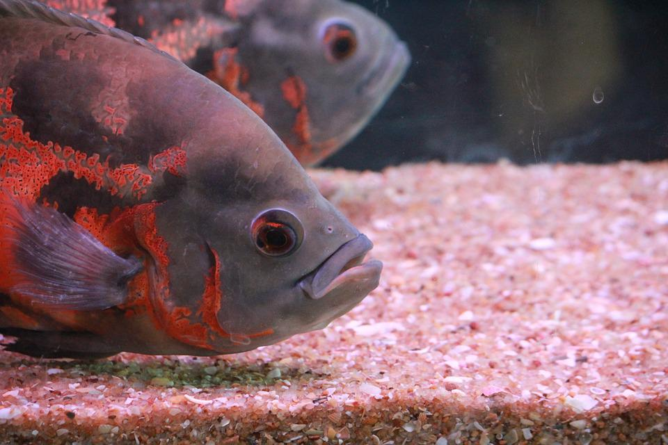 Fish, Aquarium, Fish Tank, Aquarium Fish, Gray, Orange
