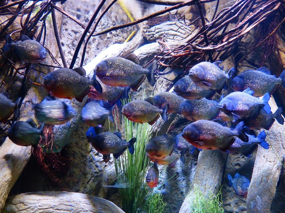 Piranhas, Fish, Aquarium, Saw Tetra, Serrasalmidae