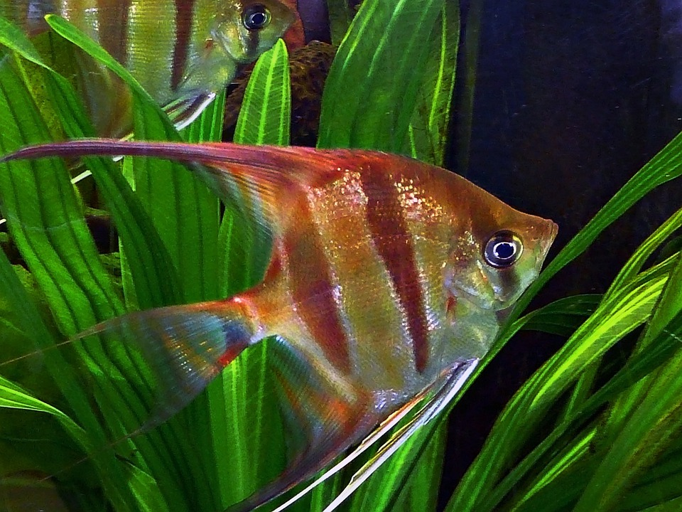 Angel Fish, Ornamental Fish, Water, Swimming, Aquarium