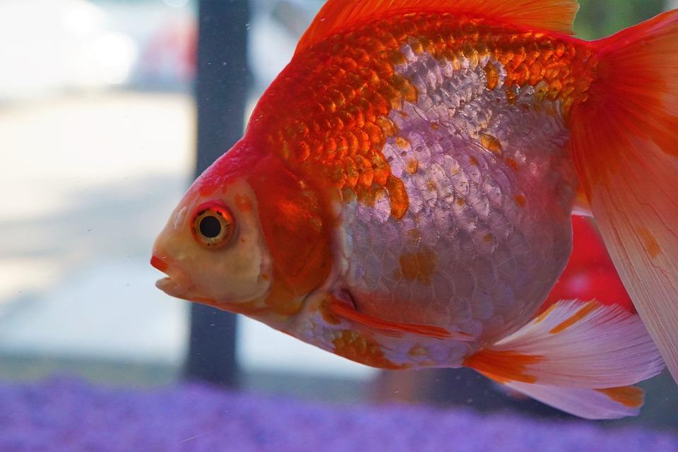 Fish, Aquarium, Underwater, Goldfish, Nature, Tropical