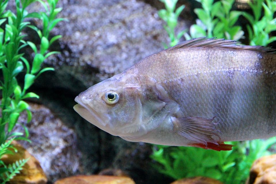 Perch, Fish, Perca, Underwater, Water, Aquarium