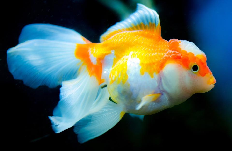 Underwater, Aquarium, Fish, Goldfish, Swimming, Water