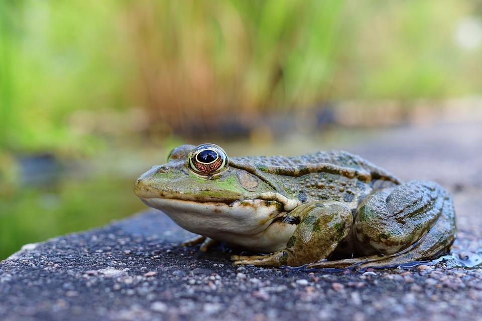 Frog, Gerardo, Animal, Nature, Amphibian, Toad, Aquatic