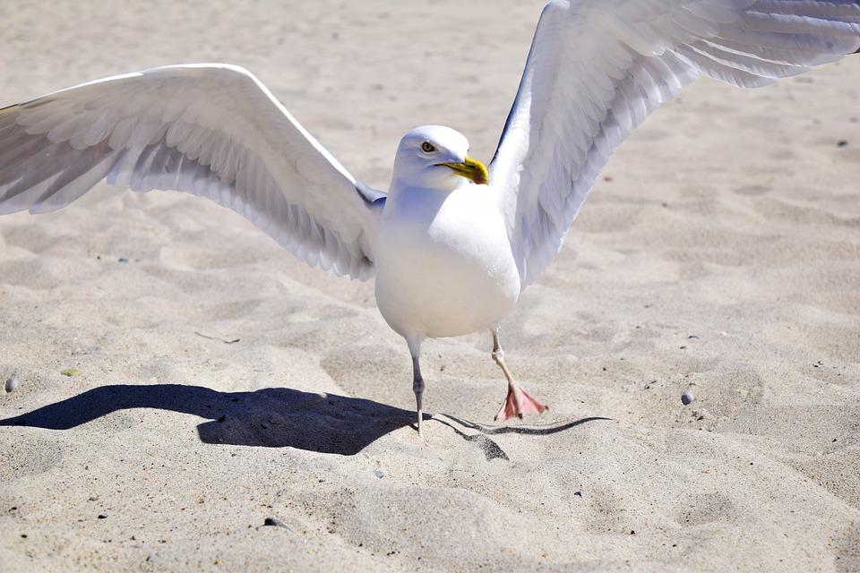 Seagull, Bird, Plumage, Marine Bird, Aquatic, Animal
