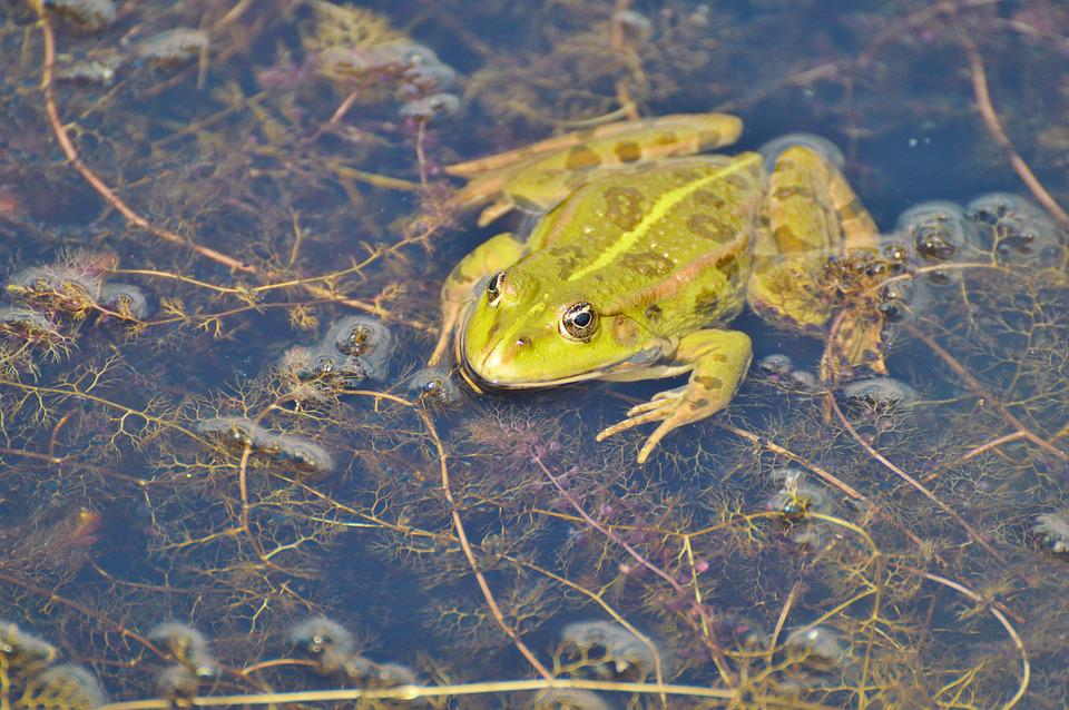 Frog, Pond, Garden Pond, Water, Aquatic Animal