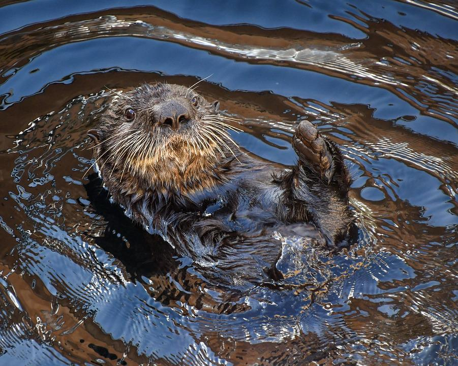 Sea otter, Aquatic Animal, Water