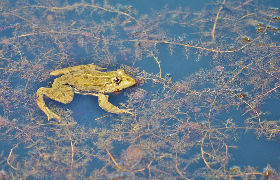 Frog, Pond, Garden Pond, Water, Aquatic Animal