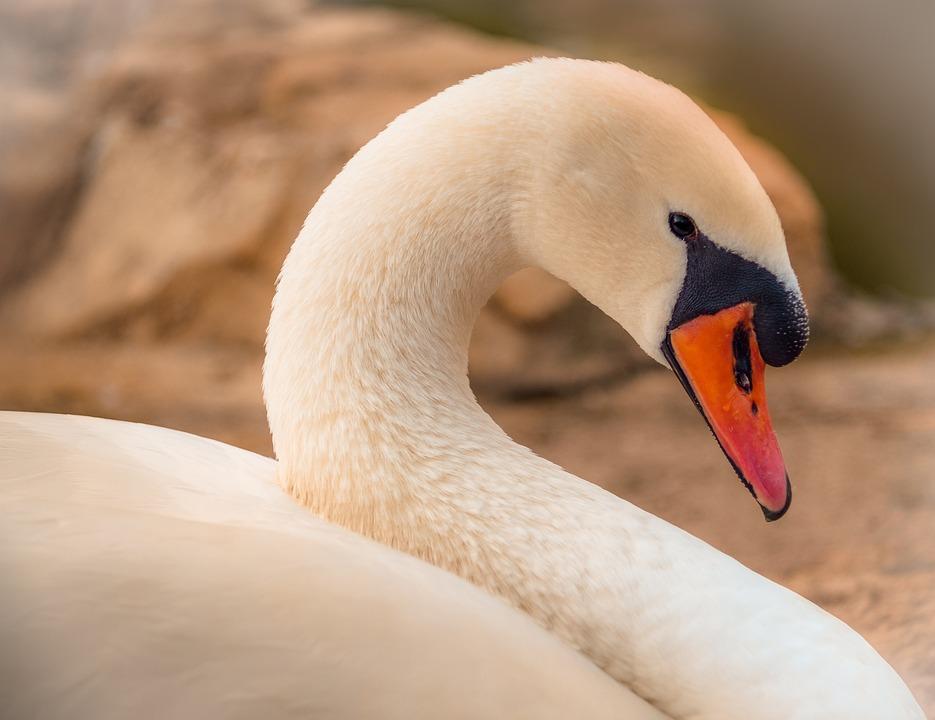 Swan, Bird, Animal, Aquatic, Birds, White, Nature