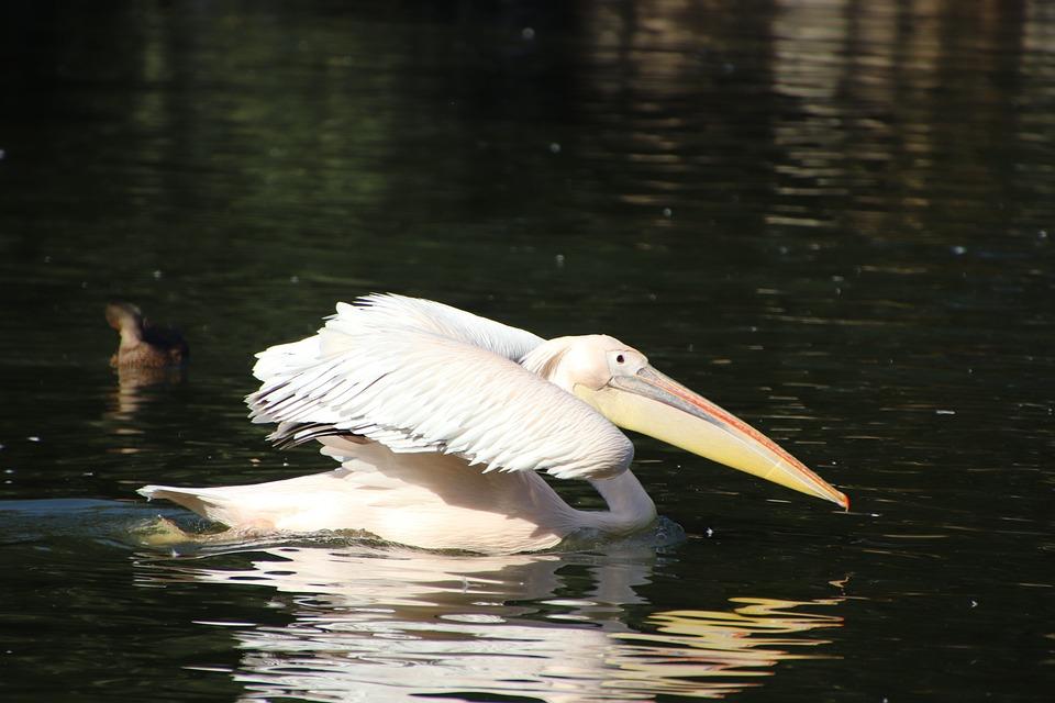 Pelican, Bird, Pond, Wading, Water Bird, Aquatic Bird