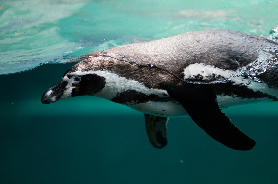 Penguin, Aquatic, Swim, Dive, Float, Water, Ocean