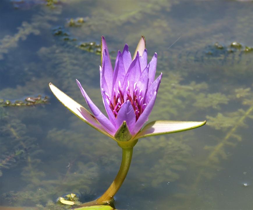 Lotus, Pool, Aquatic, Lily, Flower