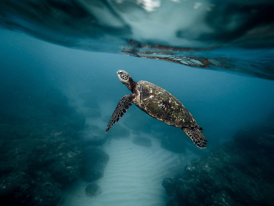 Animal, Turtle, Aquatic, Diving, Marine Life, Ocean