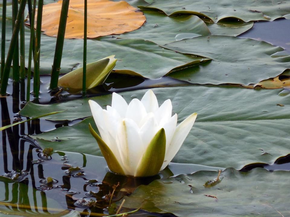 Water Lily, Nuphar, Blossom, Bloom, Aquatic Plant