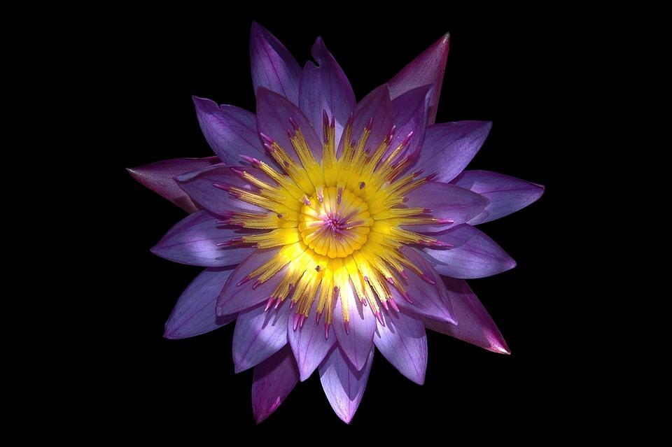 Flower, Lotus, Aquatic Plant, Water Lily