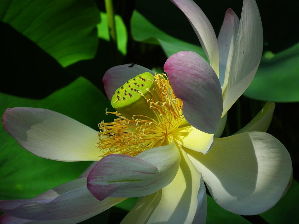 Lotus, Flower, Pink, Nature, Aquatic Plant