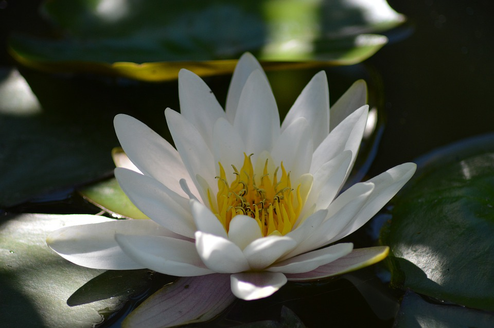 Water Lily, White, Aquatic Plant, Water, Flower