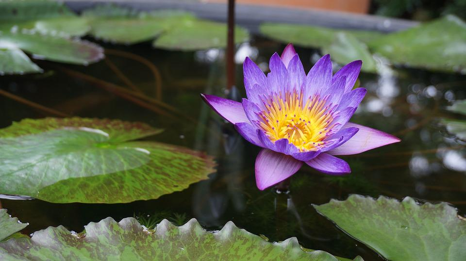 Lotus, Flowers, Aquatic Plants, Water Lilies, Nature