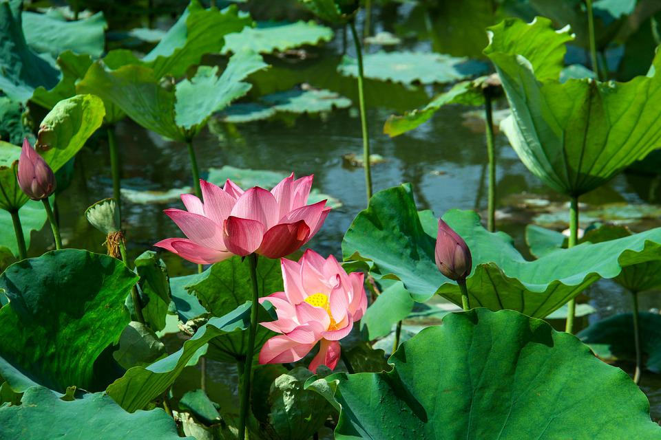 Lotus Leaf, Lotus, Summer, Aquatic Plants, Pond