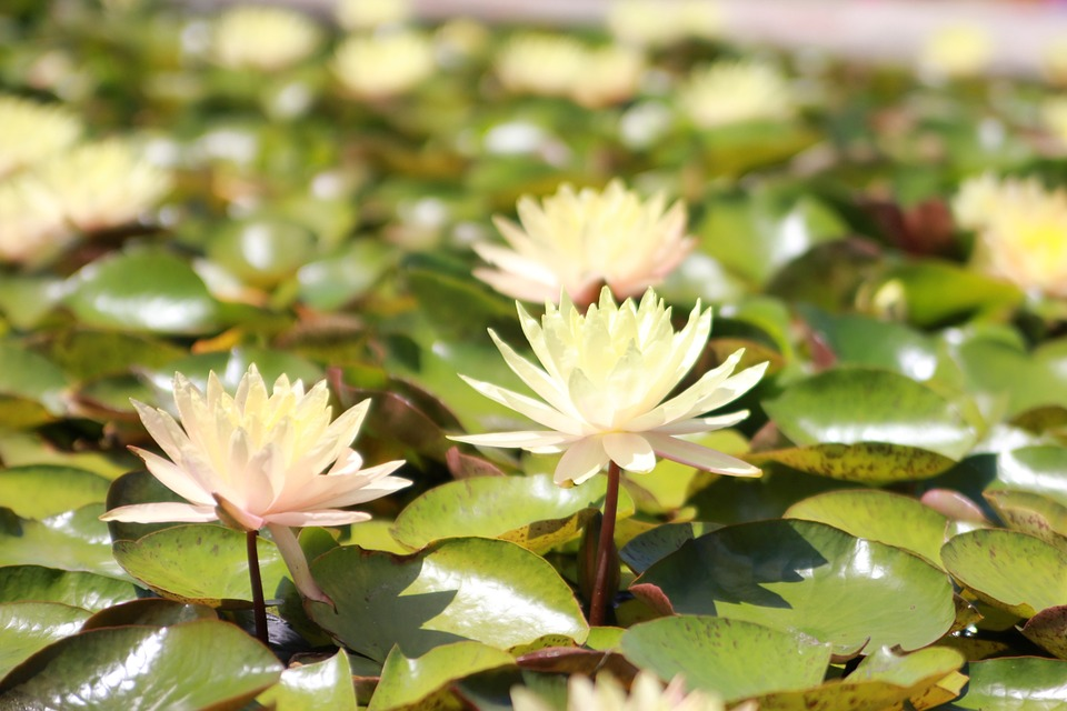 Water Lily, Yellow, Nymphaeaceae, Aquatic