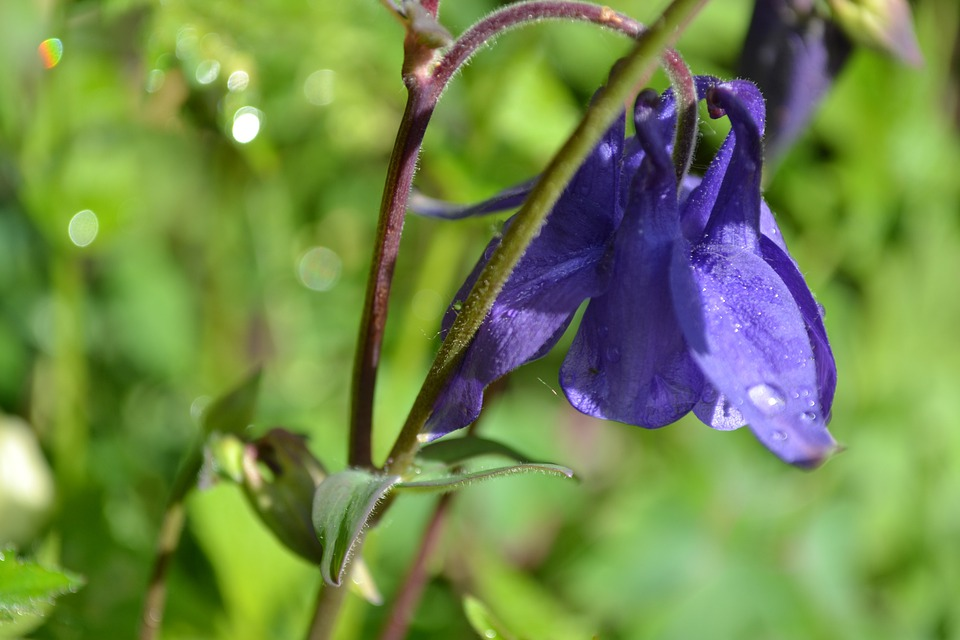 Columbine, Aquilegia, Flower, Purple, Wild, Close-up