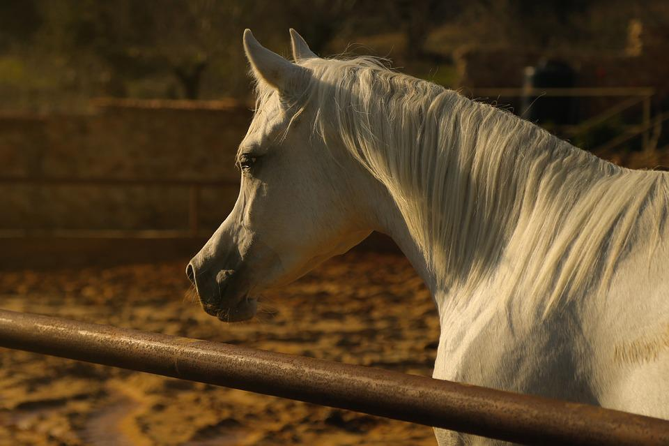 Arab, Horse, Animal, White Fur