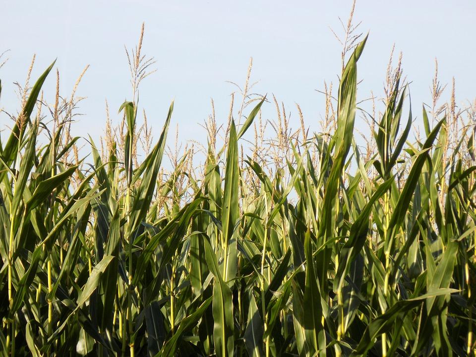 Cornfield, Corn, Arable, Food, Agriculture