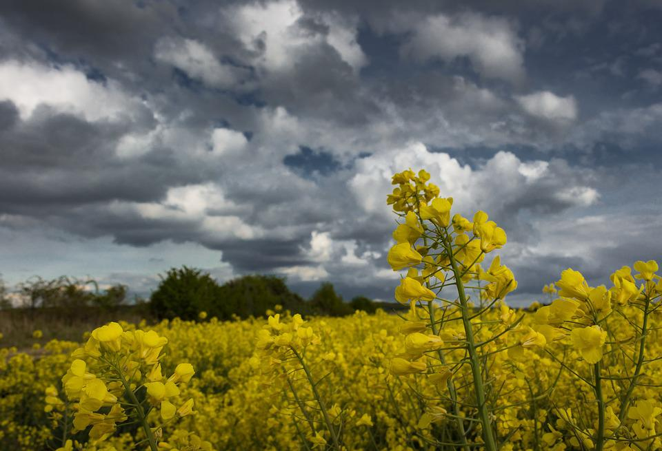 Oilseed Rape, Field, Dramatic Clouds, Arable, Yellow