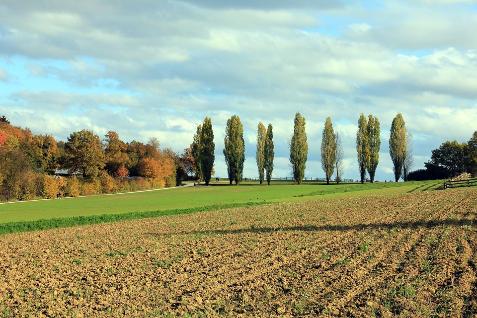 Poplars, Tree, Landscape, Arable, Sky