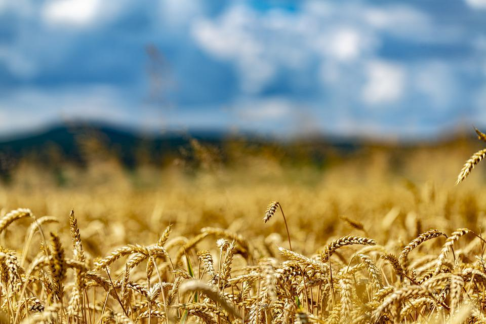 Wheat, Wheat Field, Arable, Cornfield, Cereals